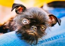 Черная собака Griffon Bruxellois (Брюссель, Belge) Стоковое Изображение RF