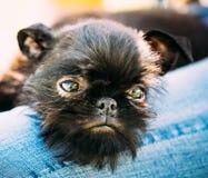 Черная собака Griffon Bruxellois Брюссель, Belge стоковое фото
