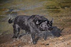 Черная собака labrador трясет воду Стоковые Фотографии RF