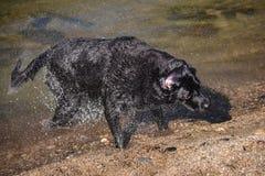 Черная собака labrador трясет воду Стоковое Изображение RF