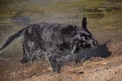 Черная собака labrador трясет воду Стоковые Изображения RF