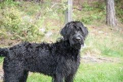 Черная собака riesenschnauzer Стоковые Фотографии RF