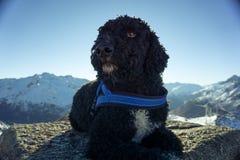 Черная собака Romagnolo Lagotto Стоковое Изображение