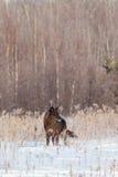 Черная съемка ландшафта волка тимберса Стоковые Фотографии RF