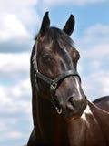 Черная съемка головки лошади Стоковые Фото