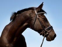 Черная съемка головки лошади Стоковые Изображения RF