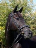 Черная съемка головки лошади Стоковые Фотографии RF
