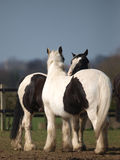 Черная съемка головки лошади Стоковые Изображения