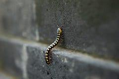Черная тропическая тысяченожка на каменной стене Стоковые Фото