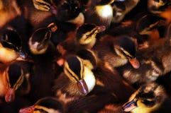 черная утка Стоковое Изображение