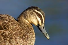 черная утка pacific Стоковая Фотография
