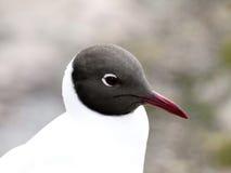 черная чайка возглавила стоковая фотография rf