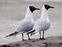 черная чайка возглавила стоковые фотографии rf