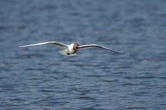 черная чайка возглавила ridibundus larus Стоковое Изображение RF