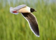 черная чайка возглавила ridibundus larus Стоковые Фотографии RF