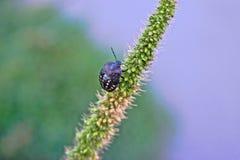 Черная черепашка на траве щетинки Стоковая Фотография RF