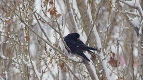 Черная чистка ворона на дереве в лесе снега или городе 2 видеоматериал