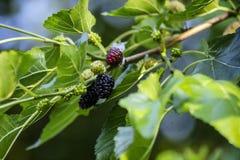 Черная шелковица на ветви Стоковая Фотография