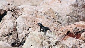 Черная ящерица греясь в солнце на утесах сток-видео