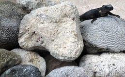 Черная ящерица Стоковое фото RF