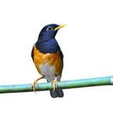 Черная-breasted птица молочницы Стоковое Изображение RF