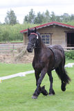 Черная friese лошадь на выставке Стоковая Фотография RF
