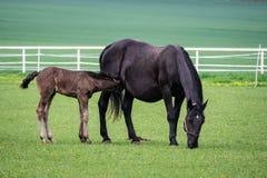 Черная kladrubian лошадь, конематка с осленком стоковые фотографии rf