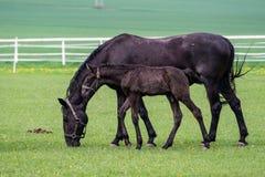 Черная kladrubian лошадь, конематка с осленком стоковая фотография
