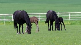 Черная kladrubian лошадь акции видеоматериалы