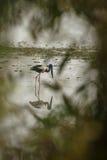 Черная necked охота аиста в озере в Kaziranga Стоковое фото RF