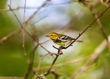 Черная Throated зеленая певчая птица стоковые изображения rf