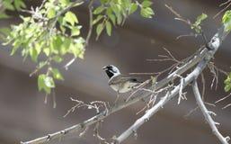Черная Throated птица воробья, колоссальный парк горы пещеры, Аризона стоковая фотография