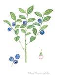Черника (myrtillus Vaccinium) Стоковое фото RF