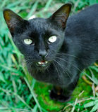 черноватый кот Стоковые Фотографии RF