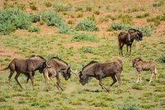 Черное бой антилопы гну Стоковое Фото