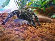 Черное волосатое пребывание seemanni aphonopelma паука самостоятельно в коробке стекла дисплея стоковое фото rf