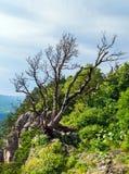 Черное дерево с гнуть и изгибать разветвляет и выходит Стоковая Фотография RF