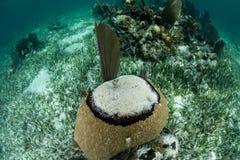 Черное заболевание диапазона на коралле в Вест-Инди стоковое изображение rf