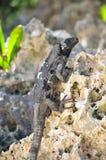 черное замкнутое spiny игуаны Стоковое фото RF