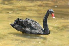 Черное заплывание гусыни в озере зоопарка Стоковое Фото