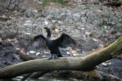 Черное засыхание баклана подгоняет сидеть на дереве в Коста-Рика Стоковое Фото