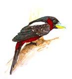 Черное и красное Broadbill Стоковые Фотографии RF
