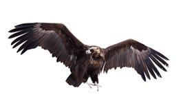 черное летание изолированное над белизной хищника стоковое изображение rf