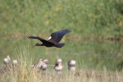 Черное летание ibis стоковые изображения rf