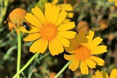 Черное насекомое на желтом цветке маргаритки стоковое фото