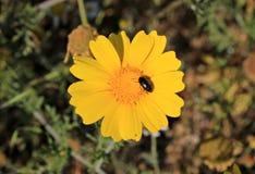Черное насекомое на желтом цветке маргаритки стоковые фото