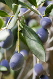 черное оливковое дерево стоковая фотография rf