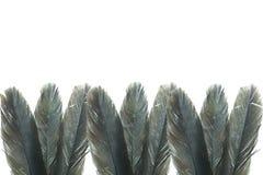 Черное перо Стоковое Фото