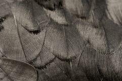 черное перо Стоковое фото RF