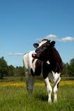 черное поле коровы пася Стоковое фото RF